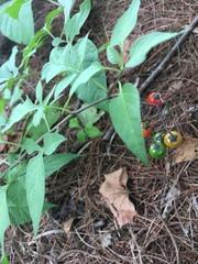 Solanum dulcamara image