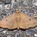 Panopoda rufimargo - Photo (c) treichard, todos los derechos reservados, uploaded by Timothy Reichard