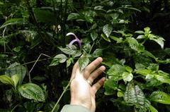 Poikilacanthus macranthus image