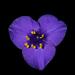Tradescantia ohiensis - Photo (c) Marco Pellegrini, todos os direitos reservados