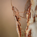 Spiny Bark Mantises - Photo (c) Dreamtime Nature Photography, all rights reserved