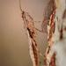 Gyromantis - Photo (c) Dreamtime Nature Photography, todos los derechos reservados