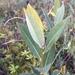 Salix pedicellaris - Photo (c) kobeaster, todos los derechos reservados