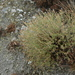 Centaurea hyssopifolia - Photo (c) jaimebraschi, todos los derechos reservados