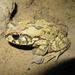 Sclerophrys poweri - Photo (c) olie, כל הזכויות שמורות, uploaded by Sam
