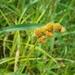 Carex cristatella - Photo (c) Daniel Carter, todos los derechos reservados