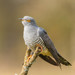 Common Cuckoo - Photo (c) James West, some rights reserved (CC BY-NC-ND)