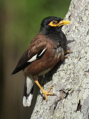 Common Myna - Photo (c) J. N. Stuart, some rights reserved (CC BY-NC-ND), uploaded by James N. Stuart