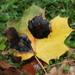 Rhytisma acerinum - Photo (c) Payton Landsborough, όλα τα δικαιώματα διατηρούνται