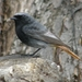 Black Redstart - Photo (c) Sergey D, all rights reserved