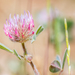 Rose Clover - Photo (c) naturephotosuze, all rights reserved