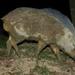 חזיר בר חבוי - Photo (c) Bernard DUPONT,  זכויות יוצרים חלקיות (CC BY-SA)