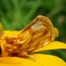 Cirrhophanus triangulifer - Photo (c) Ramsey, todos los derechos reservados