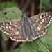 Pyrgus armoricanus - Photo (c) Raniero Panfili, todos os direitos reservados