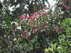 Billia hippocastanum image