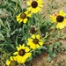 Encelia canescens - Photo (c) Andrea Ramdohr, all rights reserved