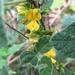 Rhynchosia - Photo (c) jtuttle, todos los derechos reservados