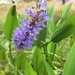 Pickerelweed - Photo (c) Jenny Woods, all rights reserved