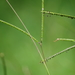 Bahia Grass - Photo (c) F. Douglas Martin, all rights reserved