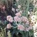 Pseudognaphalium viravira - Photo (c) Alexa Cetina, todos os direitos reservados