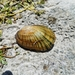 Lampmussels - Photo (c) jeffrey jenkerson, all rights reserved
