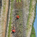 Lophocereus schottii australis - Photo (c) Bill Levine, όλα τα δικαιώματα διατηρούνται