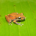 Pristimantis taeniatus - Photo (c) juandaza, todos los derechos reservados, uploaded by juandaza