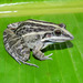 Whistling Grass Frog - Photo (c) juandaza, all rights reserved, uploaded by juandaza