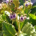 Phacelia robusta - Photo (c) Aaron Balam, all rights reserved