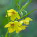 Narrow-leaved Loosestrife - Photo (c) Eric Hunt, all rights reserved