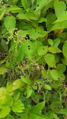 Leandra mexicana image