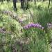Liatris pauciflora - Photo (c) heathersharkey, todos los derechos reservados