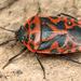 Eurydema ventralis - Photo (c) gernotkunz, all rights reserved
