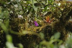 Sobralia amabilis image