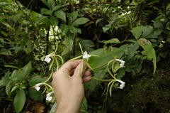 Image of Epidendrum lacustre