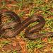 Xylophis perroteti - Photo (c) Surya Narayanan, todos los derechos reservados