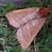 Azalea Caterpillar Moth - Photo (c) John Ratzlaff, all rights reserved, uploaded by J. Allen Ratzlaff