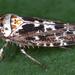 Allygus maculatus - Photo (c) gernotkunz, todos los derechos reservados