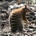 Marsupiales Y Placentarios - Photo (c) Chris Benesh, todos los derechos reservados