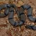 Oligodon arnensis - Photo (c) Surya Narayanan, όλα τα δικαιώματα διατηρούνται
