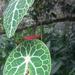 Tropaeolum lindenii - Photo (c) Ana María Herzig, כל הזכויות שמורות