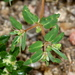 Ray Turner's Spurge - Photo (c) Jay Keller, all rights reserved, uploaded by Jay L. Keller