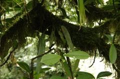 Anthurium protensum image