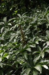Oreopanax xalapensis image