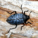Gibbifer californicus - Photo (c) Jay Keller, todos los derechos reservados, uploaded by Jay L. Keller