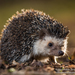 Four-toed Hedgehog - Photo (c) Robin James, all rights reserved