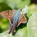 Saltarina de Cola Larga Azul - Photo (c) Brad Moon, todos los derechos reservados