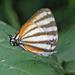 Arawacus lincoides - Photo (c) Steve Collins, todos los derechos reservados