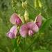 Lathyrus sylvestris - Photo (c) missnarjess, todos los derechos reservados