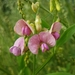 Narrow-leaved Everlasting-Pea - Photo (c) Narjess Hamecha-Daniels, all rights reserved